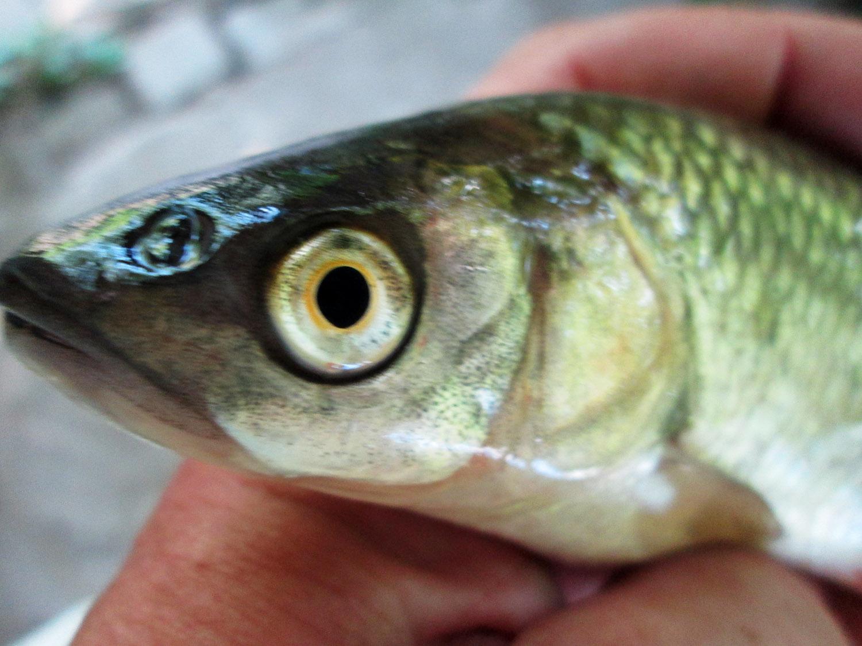 на что ловить толстолобика в fantastic fishing