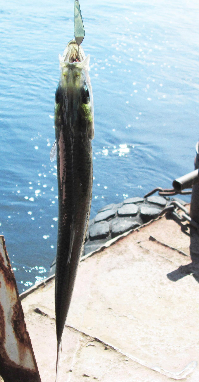 сельдь черного моря ловля