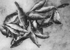 какая рыба клюет на волге